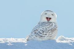 Sneeuwuil die -/in Sneeuw glimlachen geeuwen stock afbeeldingen