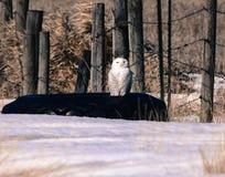 Sneeuwuil die terwijl neergestreken op een oude band letten op Stock Fotografie