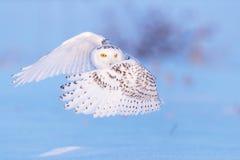 Sneeuwuil en Gele Ogen stock afbeeldingen