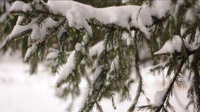 Sneeuwval bij de boomtakken. Sneeuwval van een pijnboomtak in een bos stock videobeelden