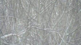 Sneeuwval in de takken stock videobeelden