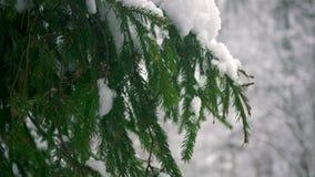 sneeuwval de witte sneeuw ligt op de takken van sparren stock videobeelden