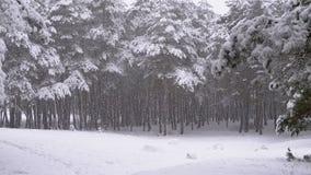 Sneeuwval in het Bos van de de Winterpijnboom met Sneeuwkerstbomen stock videobeelden