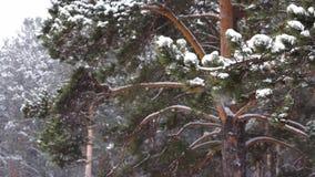 Sneeuwval in het pijnboombos stock footage