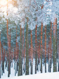 Sneeuwval in het pijnboombos Stock Fotografie