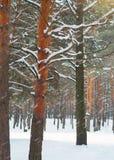 Sneeuwval in het pijnboombos Royalty-vrije Stock Afbeeldingen