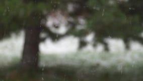 Sneeuwval tegen vage pijnboomboom stock footage