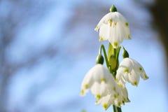 Sneeuwvlokbloem in bloesem stock foto