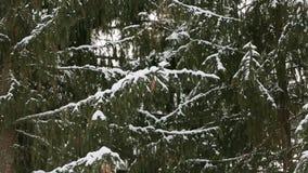 Sneeuwvlokken die in langzame die motie op sparren en pijnboomboomtakken vallen met sneeuw worden behandeld De winterdag in sparr stock video