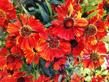 Sneezeed blommor Royaltyfri Bild