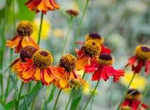 Sneezeweed alaranjado do helenium na flor da flor em um jardim botânico fotografia de stock