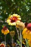 Sneezeweed comum foto de stock