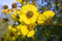 Sneezeweed comum do autumnale do Helenium na flor, grupo de flores amarelas, arbusto alto com folhas foto de stock