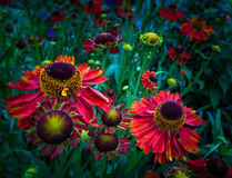 Sneezeweed. In a cottage-garden the colorful sunflower blossoms radiate in full splendor Stock Image