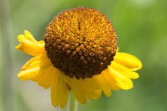 Sneezeweed Royalty Free Stock Photos