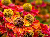 Sneezeweed flowers in blossom Stock Images