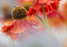Sneezeweed - Helenium Fotos de Stock
