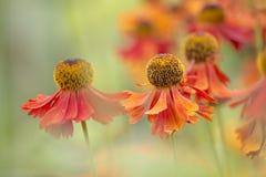 Sneezeweed - Helenium Imagens de Stock Royalty Free