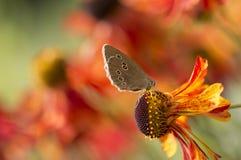Sneezeweed - Helenium Foto de Stock Royalty Free