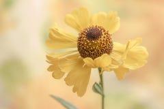 Sneezeweed - Helenium Fotografia de Stock Royalty Free