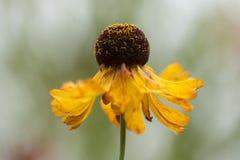 Sneezeweed - Helenium Imagem de Stock Royalty Free