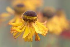 Sneezeweed - Helenium Fotografia de Stock