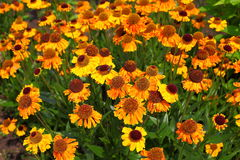 Sneezeweed - Helenium autumnale Stock Photos