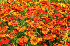 Sneezeweed - Helenium autumnale Stock Photo