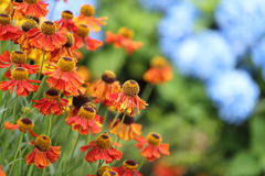 Sneezeweed in hydrangea background Stock Photo