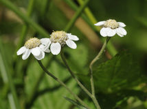 Sneezewort Royalty Free Stock Photography