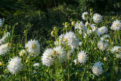 Snegiol flowers aster Stock Photography