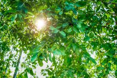 Sneky peeky sun. Morning sun sneak peek through the tree capture by lenses Royalty Free Stock Image