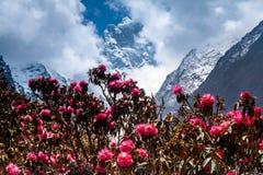 Snel tot bloei komende rododendron tegen van bergen Royalty-vrije Stock Afbeelding