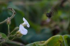 Snickare Bee Arkivbilder