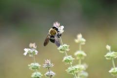 Snickare Bee på Basil Blossoms 1 arkivfoton