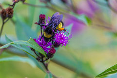 Snickare Bee som arbetar på en blomma Arkivfoton
