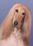 Snickers the Afghan Hound Royalty Free Stock Images