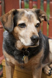 Snickers the Beagle Mix. Picture of a Beagle mixed with Australian Cattle Dog on a deck looking to the right royalty free stock photos