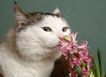 Sniff γατών ρόδινα λουλούδια υάκινθων Στοκ φωτογραφία με δικαίωμα ελεύθερης χρήσης