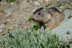 Sniffa den alpina murmeldjuret Arkivfoton