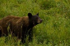 Sniffa den amerikanska svarta björnen med kanelbrun färgläggning arkivbild