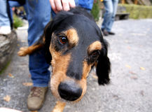 sniffa för hund Royaltyfria Foton
