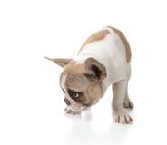 sniffa för hundjordningsvalp Royaltyfria Bilder