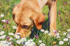 Sniffa hunden Royaltyfria Bilder