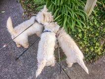 Sniffa ut affärsföretag: västra höglands- vit terrier för westie tre royaltyfri fotografi