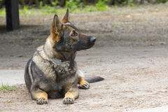Sniffer dog. Drug detection Belgian malionois is waiting for order Stock Photography