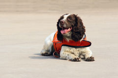Sniffer dog Stock Photo