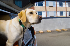 Sniffer Dog Royalty Free Stock Photos