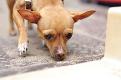 Sniffing. A chihuahua sniffing on the ground Stock Images