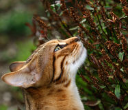 Sniffing. Head and neck of a Bengali special breed kitten stretching and sniffing a hebe flower Stock Image